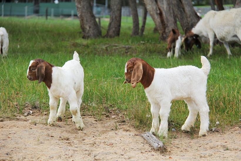 Linda McKenzie goat article.JPG 2