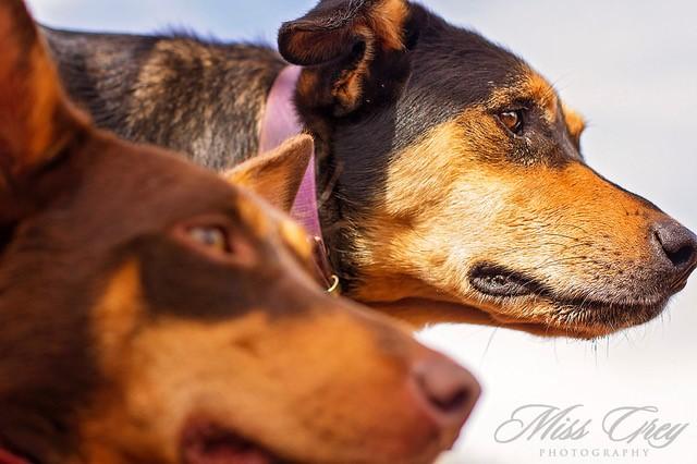 pilbara working dogs 1