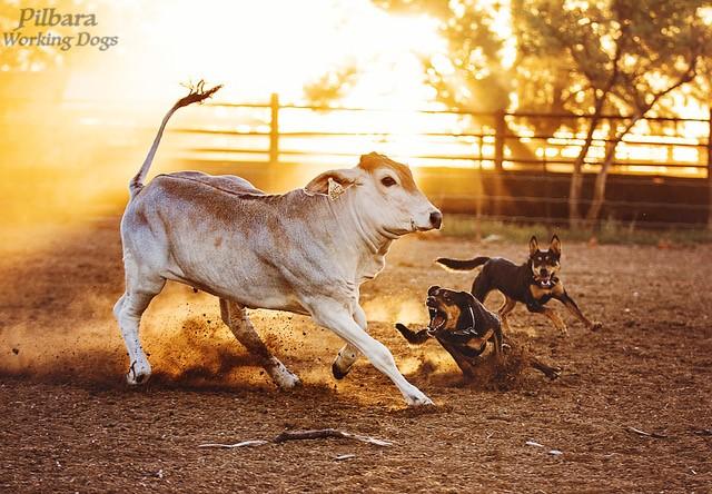 pilbara working dogs 3