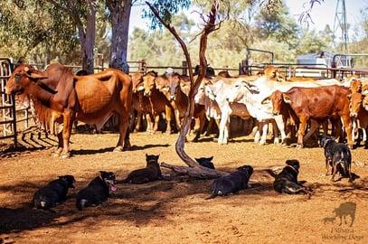 pilbara working dogs 4