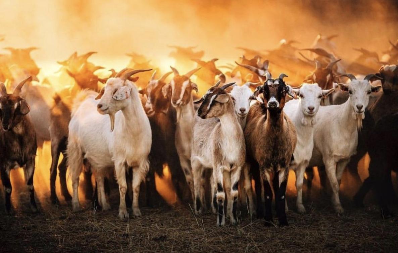 rural livestock 4.jpg